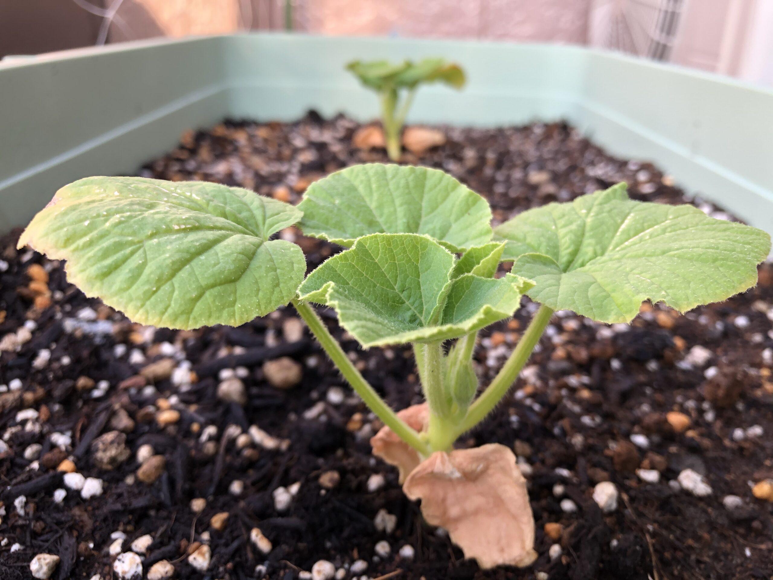 カボチャの成長1